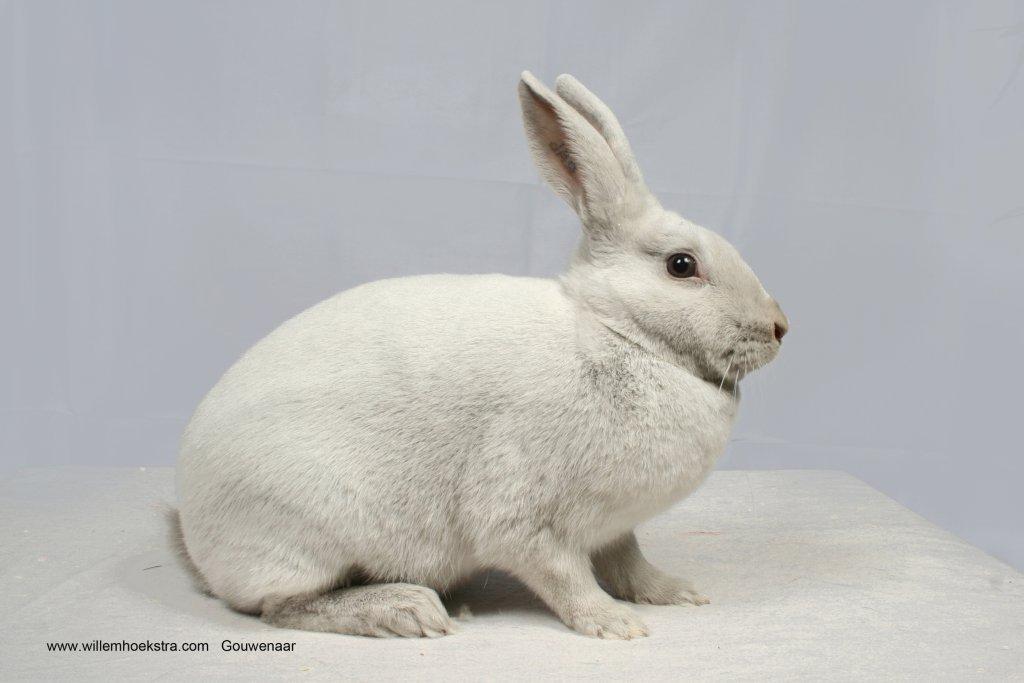 Afbeeldingsresultaat voor gouwenaar konijn