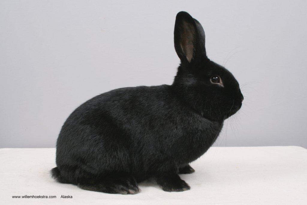 Afbeeldingsresultaat voor alaska konijn