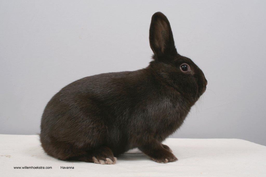 Afbeeldingsresultaat voor havana konijn